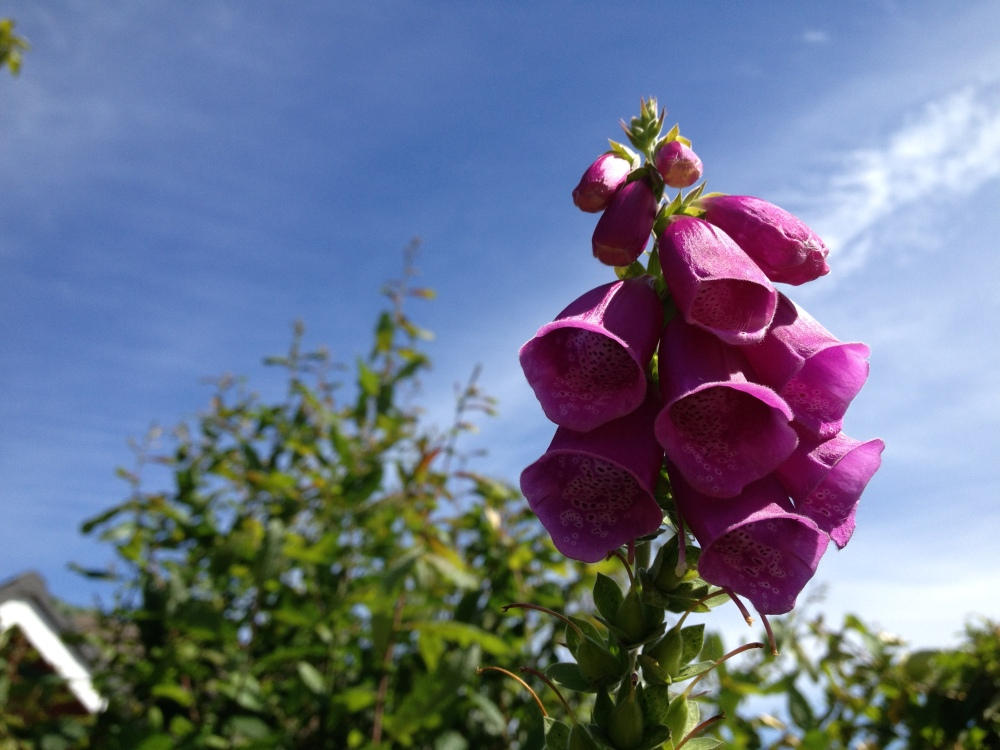 Foxglove in the garden