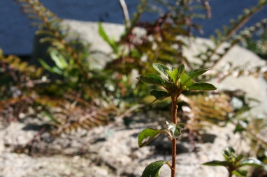 Azalea and fern